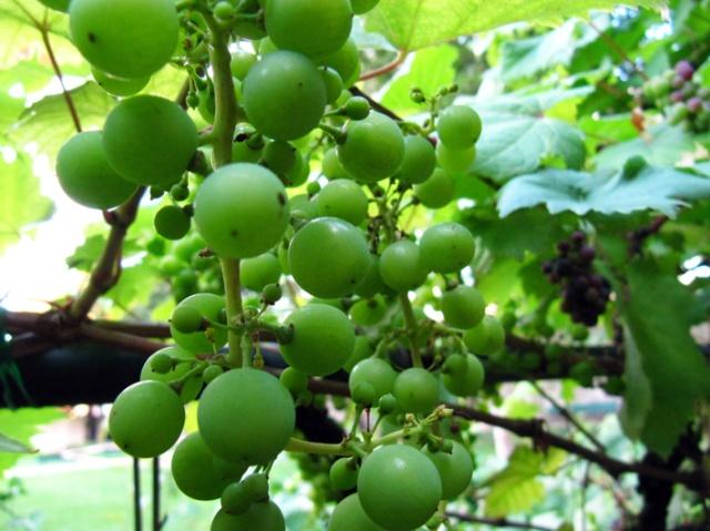 Littlelulu_jclaboure_raisins